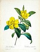 Snake vine (Hibbertia scandens), 19th century illustration