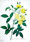 Rose of Bancks (Rosa banksiae), 19th century illustration