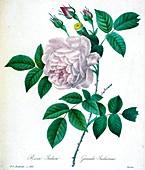 Rose (Rosa chinensis), 19th century illustration