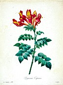 Cape honeysuckle (Tecoma capensis), 19th century illustration