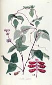 Dolichos sanguineus plant, illustration
