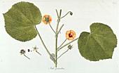 Sida graveolens flower, illustration