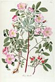 Rose (Rosa sp.) bush, illustration