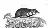 Hamster, illustration