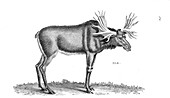 Elk, illustration