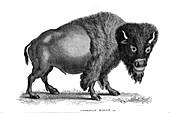 American Bison, illustration