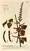 Erythrina corallodendron plant, 18th century