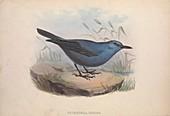 Blue rock-thrush, 19th century illustration