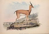 Antelope, 19th century illustration