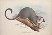 Lemur, 19th century illustration
