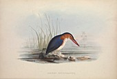 White-bellied kingfisher, 19th century illustration