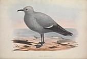 Sea gull, 19th century illustration