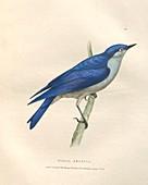 Mountain bluebird, illustration