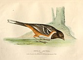 Female spotted towhee, illustration