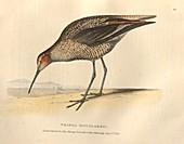 Long-legged sandpiper, illustration