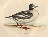 Barrow's duck, illustration