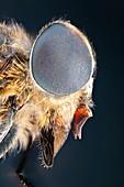 Horsefly, macrophotograph