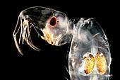 Phantom midge larva, light micrograph