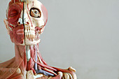Anatomical model of the head