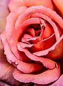 Pink rose (Rosa sp.)