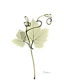 Grape leaves and tendrils, X-ray
