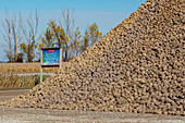 Sugar beet piled after harvesting, Michigan, USA
