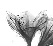 Amaryllis flowers, X-ray