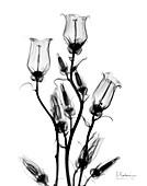 Canterbury bells (Campanula medium), X-ray