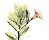 Rocketrumpet (Mandevilla sp.) flowers, X-ray