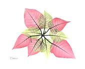 Poinsettia (Euphorbia pulcherrima), X-ray