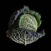 Savoy cabbage (Brassica oleracea var. sabauda)