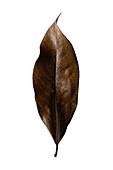 Southern magnolia (Magnolia grandiflora) leaf