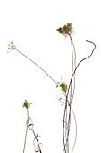 Wild carrot (Daucus carota) flowers
