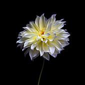 Waterlily Dahlia flower