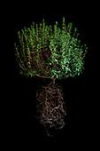 Myrtle plant (Myrtus communis)