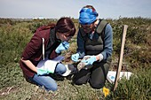 Scientists examining yellow-legged gull chick