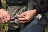 Yellow-legged seagull chick being ringed