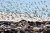 Gulls flying over landfill site, France