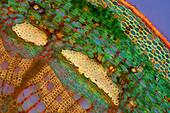 Rose stalk, light micrograph