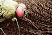 Tse-tse fly, Glossinia spp.