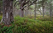 Mature Scots pines in Caledonian pine woods, Cairngorms