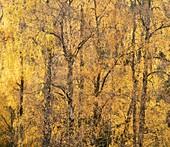 Autumnal silver birch (Betula pendula) woodland