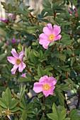 Virginia rose (Rosa virginiana) flowers