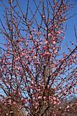 Peggy Clarke Japanese flowering plum tree in blossom