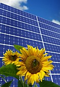 Solar panels and sun flowers