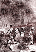 19th Century carnuba wax harvest, illustration