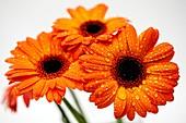 African daisies (Gerbera sp.)