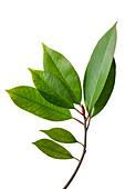 Chinese Photinia (Photinia serratifolia) evergreen shrub