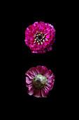 Common zinnia (Zinnia elegans 'Lilliput Purple') flower
