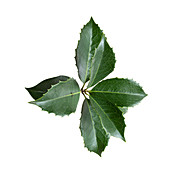 Holly (Osmanthus heterophyllus)